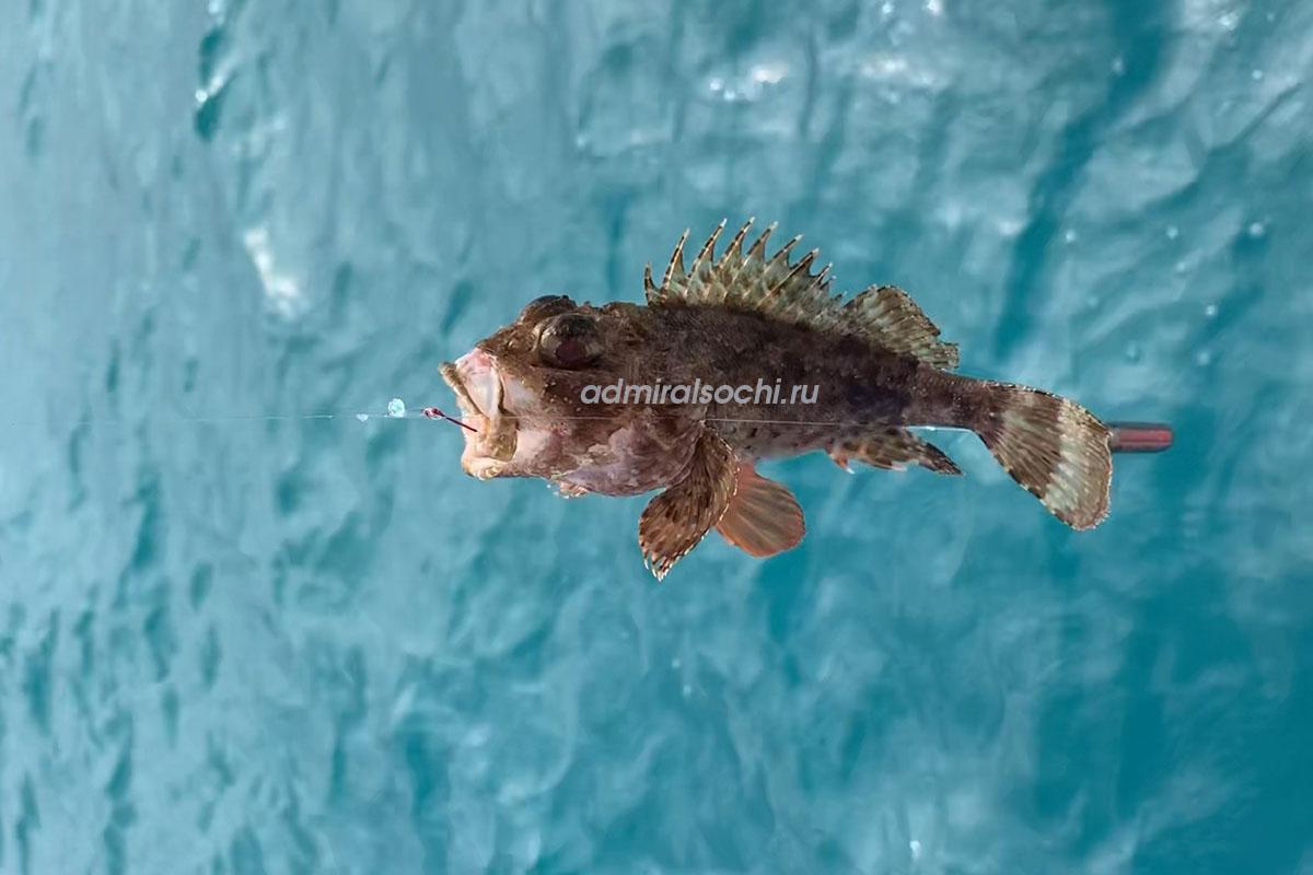Рыбалка морского ерша в Сочи